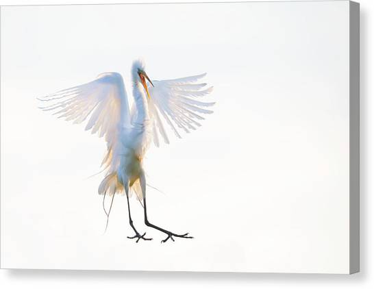 Egrets Canvas Print - Morning Landing by Phillip Chang