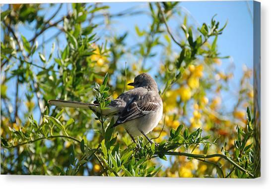 Mockingbirds Canvas Print - Morning Mockingbird by Preston Broadfoot