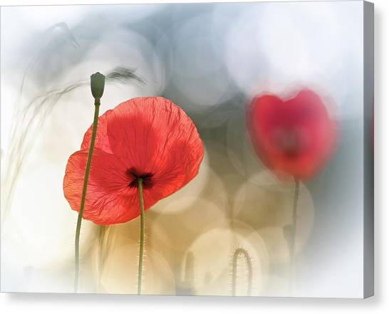 Romantic Flower Canvas Print - Morning Poppies by Steve Moore