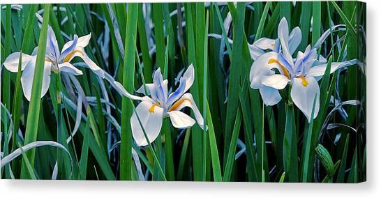 Morning Smile - Wild African Iris Canvas Print
