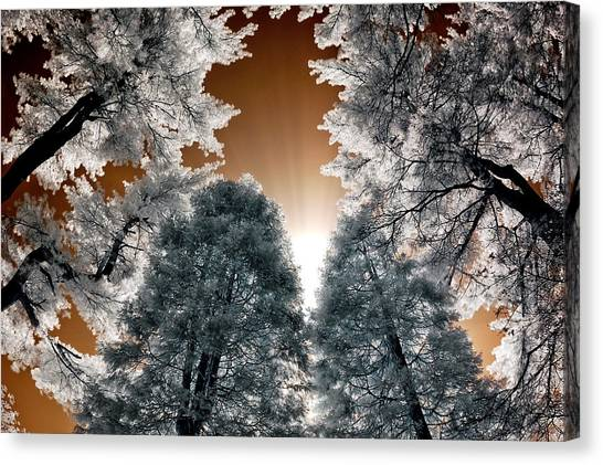 Morning Sun And Pines Canvas Print