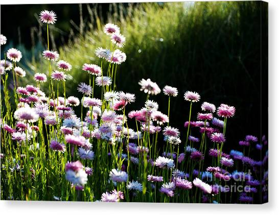 Canvas Print featuring the photograph Morning Sun by Yew Kwang