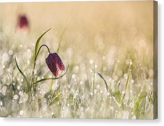 Holland Canvas Print - Morningdew by Anton Van Dongen