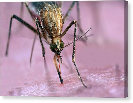Behaviour Canvas Print - Mosquito Biting Hand by Frank Fox