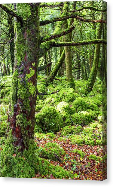 Canvas Print - Moss Covered Trees In Killarney by Jonathan Irish