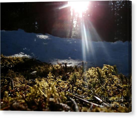 Moss In The Sunlight Canvas Print by Steven Valkenberg