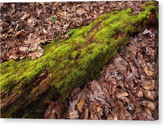 Moss On Pine Canvas Print