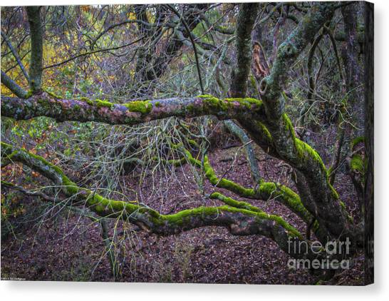 Mossy Forest Canvas Print - Mossy Buckeye Tree by Mitch Shindelbower