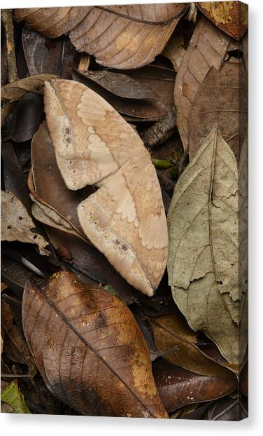 Animal Behaviour Canvas Print - Moth Camouflaged Against Leaf Litter by Ch'ien Lee