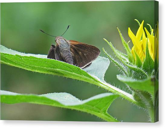 Moth Flower Canvas Print