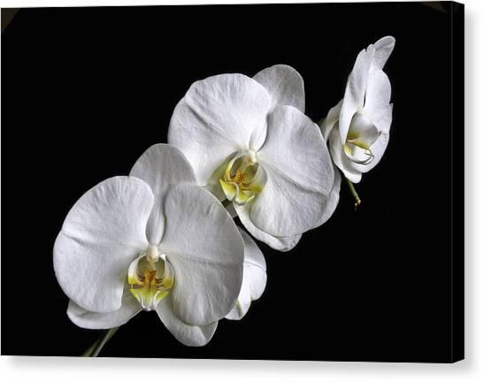 Moth Orchid Trio Canvas Print