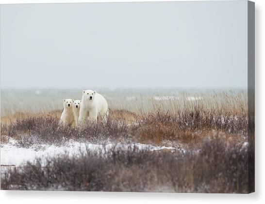 Polar Bears Canvas Print - Mother & Cubs At The Seaside by Marco Pozzi