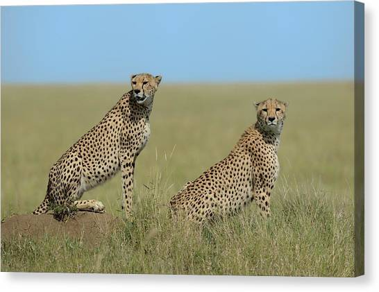 Cheetahs Canvas Print - Mother & Son by Marco Pozzi