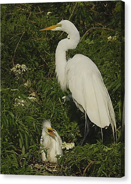 Mother And Baby Egret Canvas Print by Wynn Davis-Shanks