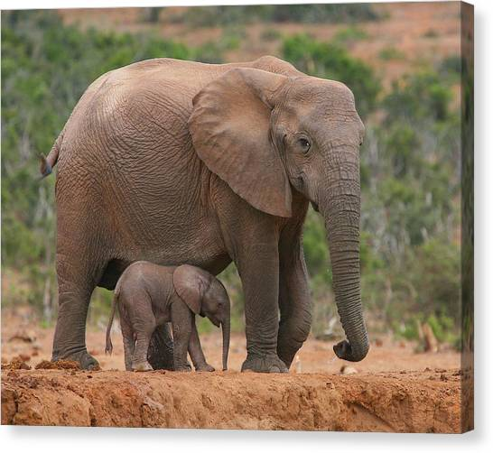 Elephants Canvas Print - Mother And Calf by Bruce J Robinson