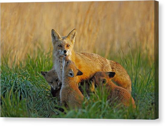 Mother Fox And Kits Canvas Print