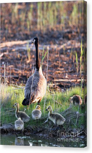 Mother Goose And Goslings Canvas Print