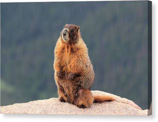 Mother Marmot Canvas Print