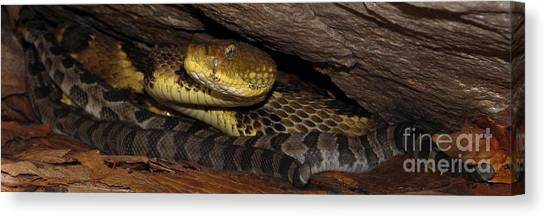 Timber Rattlesnakes Canvas Print - Mother Snake by Joshua Bales