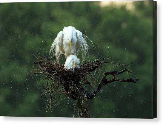 Egret Canvas Print - Motherly Love by Libby Zhang