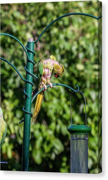 Parakeets Canvas Print - Moulting Ring-necked Parakeet On A Bird Feeder by Georgette Douwma/science Photo Library