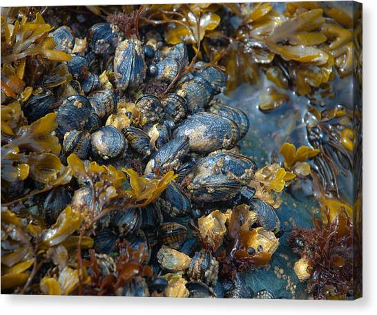 Mound Of Mussels Canvas Print by Sarah Crites