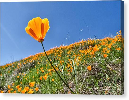 Mount Diablo Poppy Field Canvas Print by Robert Rus