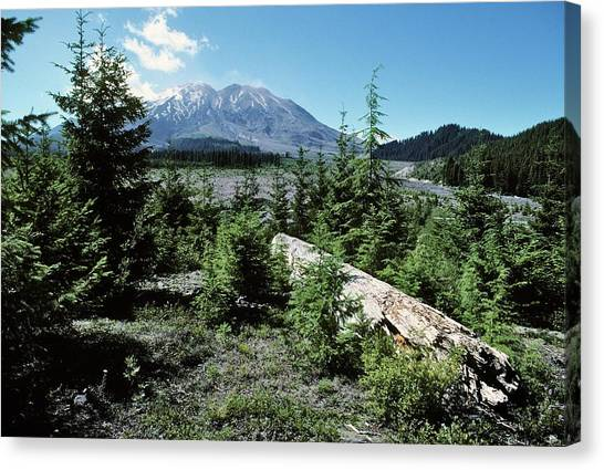 Mount St. Helens Canvas Print - Mount St Helens Lahar Area Regrowth by Dr Juerg Alean