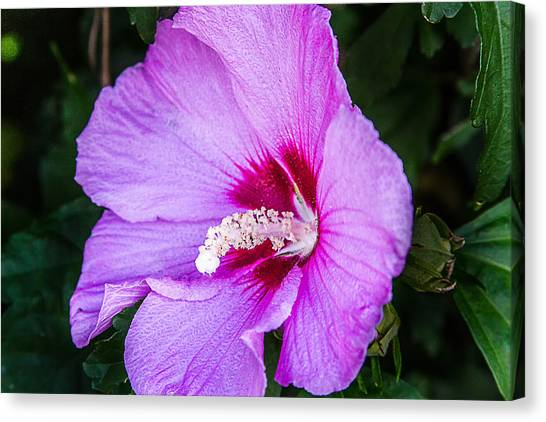 Mountain Bloom Canvas Print by Barry Jones