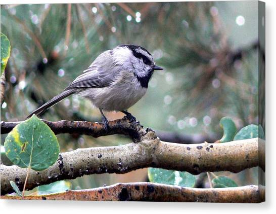 Mountain Chickadee On A Rainy Day Canvas Print