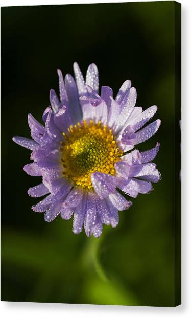 Mountain Dew Canvas Print - Mountain Daisy by Mark Kiver