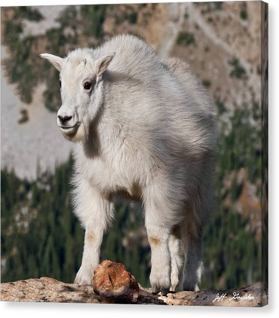 Mountain Goat Kid Standing On A Boulder Canvas Print