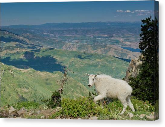 Mountain Goat, Oreamnos Americanus Canvas Print by Howie Garber