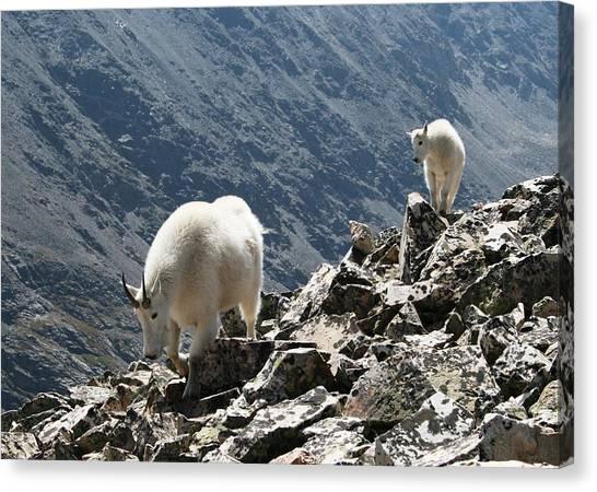 Mountain Goats 2 Canvas Print