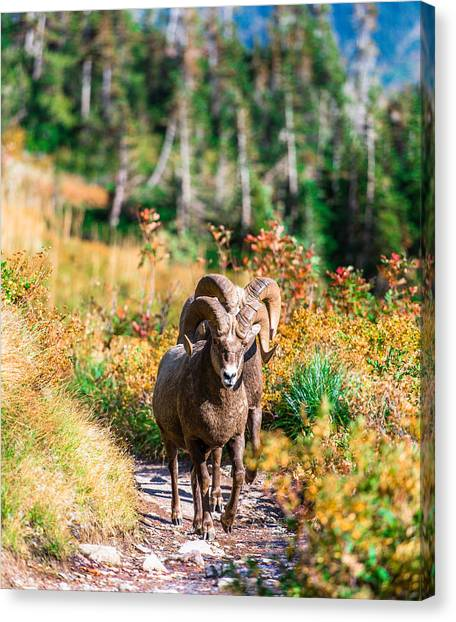 Mountain Goats Canvas Print by Rohit Nair