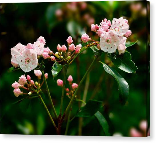 Mountain Laurel Canvas Print