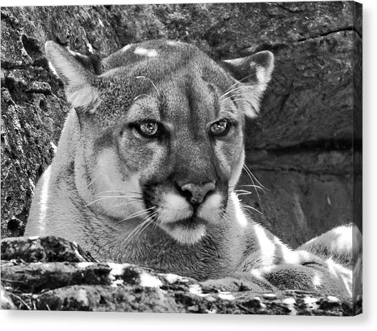 Mountain Lion Bergen County Zoo Canvas Print