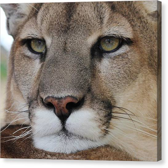 Mountain Lion Portrait 2 Canvas Print