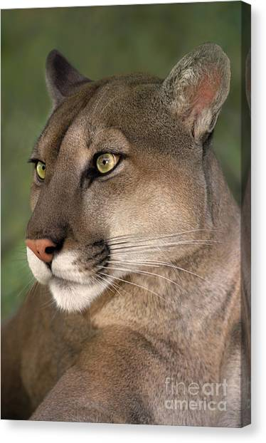 Mountain Lion Portrait Wildlife Rescue Canvas Print