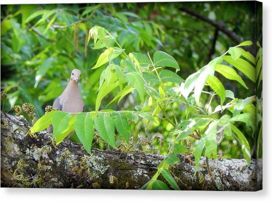 Mourning Dove Canvas Print by Lynn Griffin