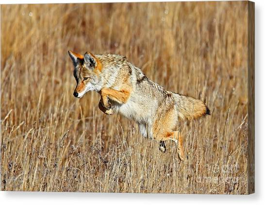 Mousing Coyote Canvas Print