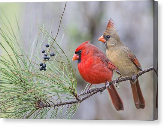 Mr. And Mrs. Redbird In Pine Tree Canvas Print