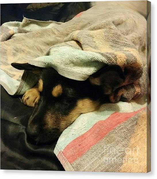 Puppies Canvas Print - Mr Darcy Asleep Under Towel#instadog by Abbie Shores