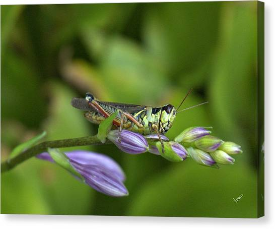 Mr. Grasshopper Canvas Print