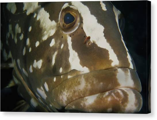 Mr. Grouper Canvas Print