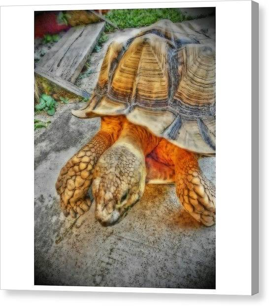 Tortoises Canvas Print - Mr by Nadiyah Ishak
