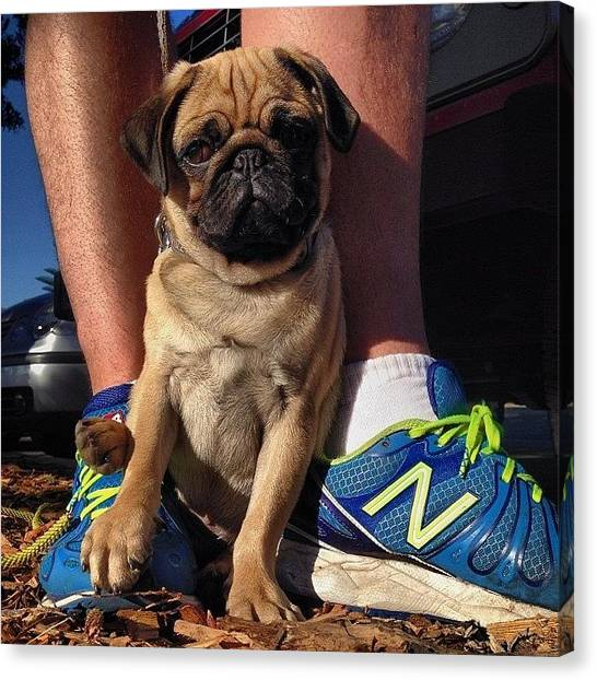 Pugs Canvas Print - Mr #oscarfairbanks Could Not Get Much by Emily Hames