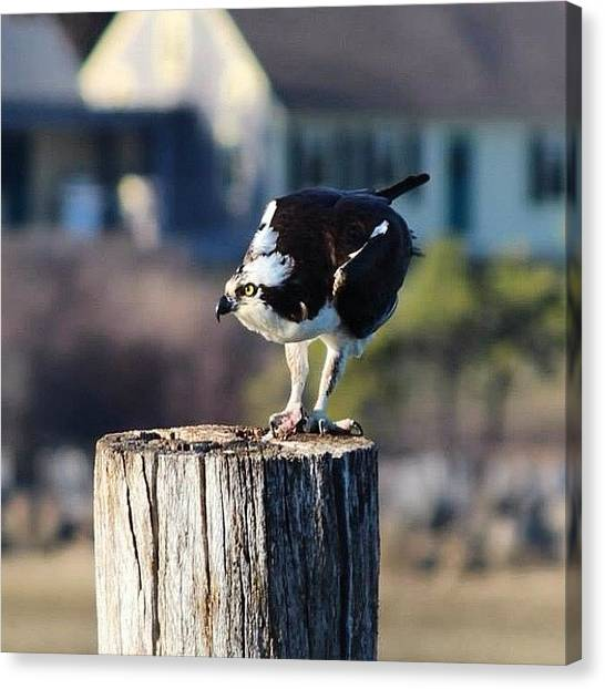 Osprey Canvas Print - Mr. Osprey, At Wellfleet Harbor #osprey by Amy Coomber Eberhardt