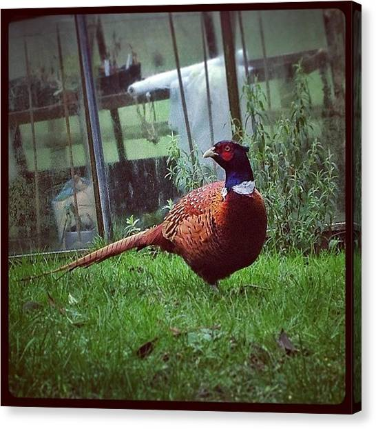 Pheasants Canvas Print - Mr #pheasant Is Back Again 😊 by Miss Wilkinson