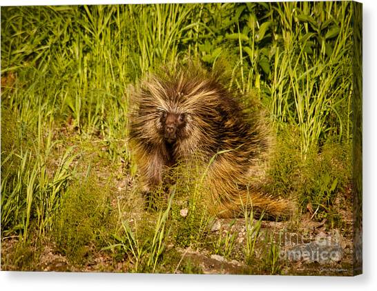 Mr. Porcupine Canvas Print